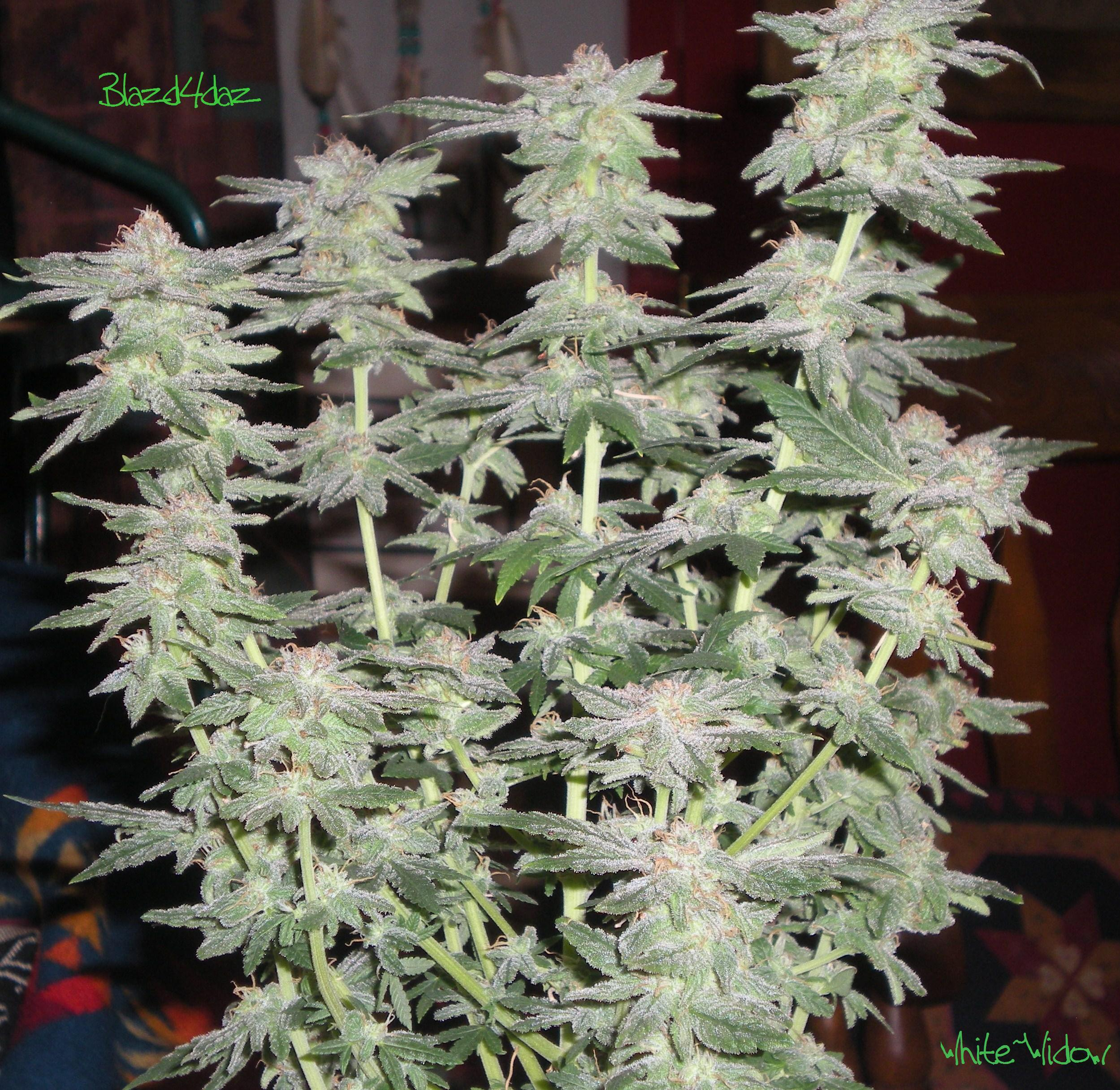 My First Grow Diary White Widow X Big Bud Critical Silver Kush