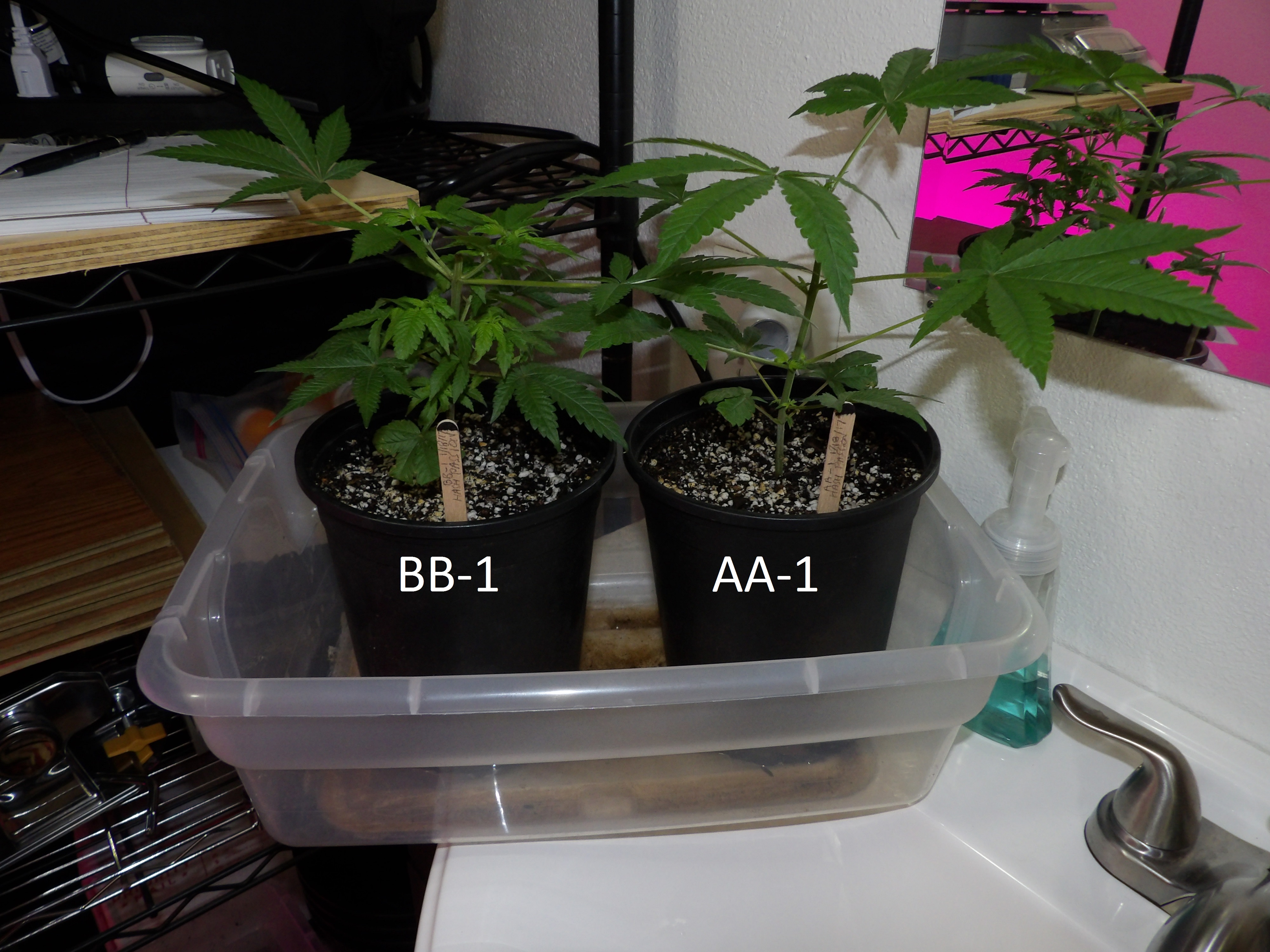 Clones AA-1 and BB-1 after one week of spraying with homemade Colloidal Silver.