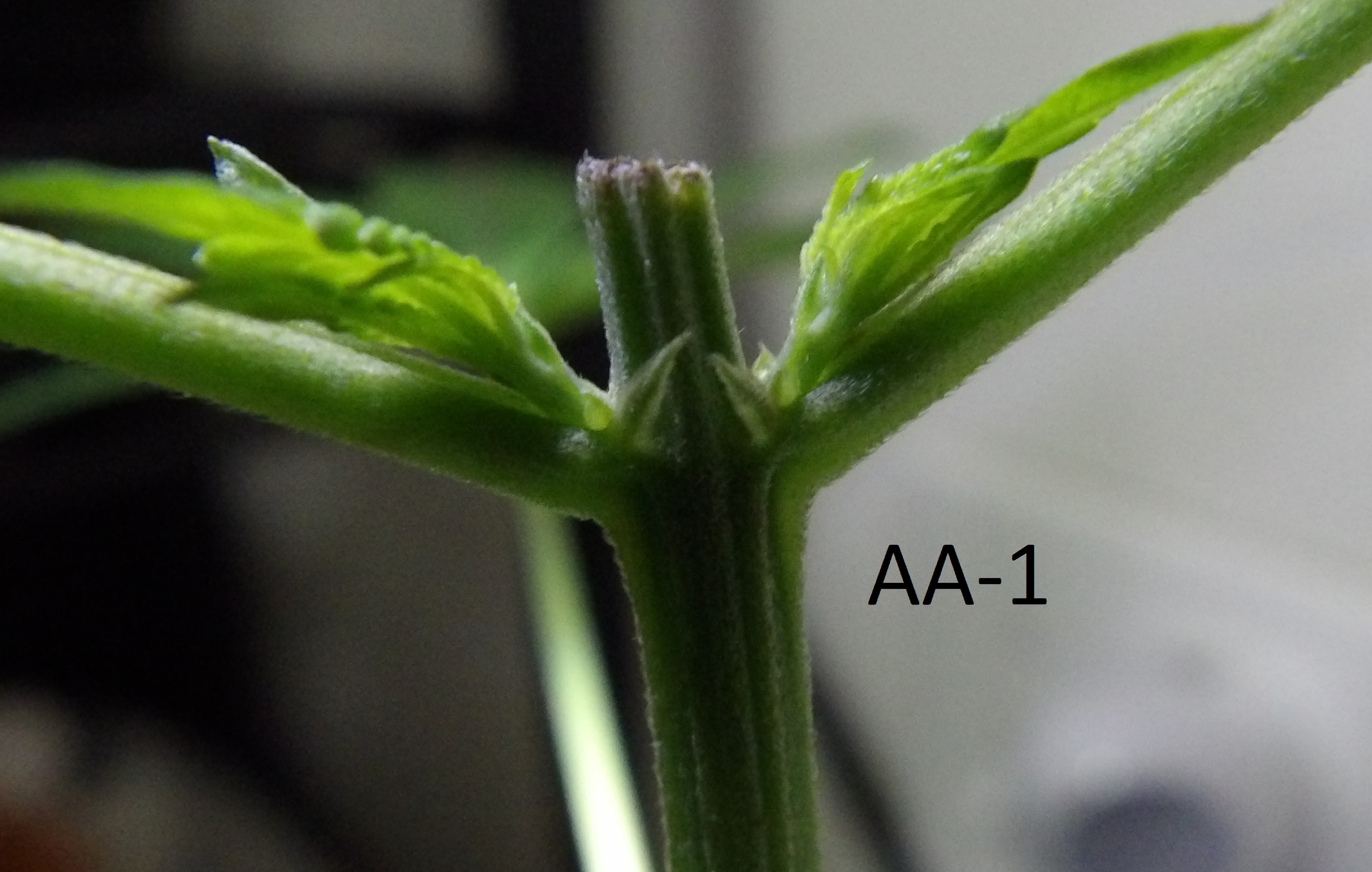 Clone AA-1 after one week of spraying with homemade Colloidal Silver, looks like a male.